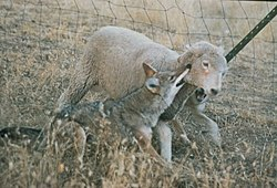 Domestic sheep predation - Wikipedia, the free encyclopedia