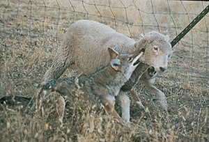 Domestic sheep predation - A lamb being attacked by a coyote in the most typical method, a bite to the throat