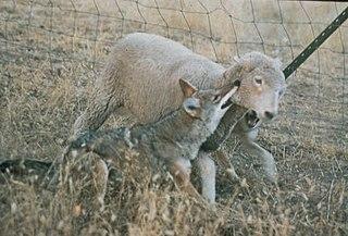 Domestic sheep predation