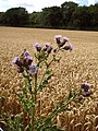Creeping thistle (Cirsium arvense) - geograph.org.uk - 213840.jpg