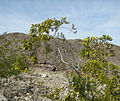 Creosote-bush Larrea tridentata outflung-blooms.jpg