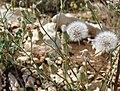 Crepis foetida inflorescence (20).jpg