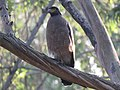 Crested serpent eagle IMG 6999.jpg