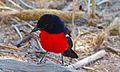 Crimson-breasted Shrike (Laniarius atrococcineus) (6549324749).jpg