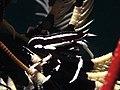 Crinoid squat lobster (Allogalathea elegans) (19030201065).jpg