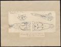 Crocodilus spec. - schedel - 1700-1880 - Print - Iconographia Zoologica - Special Collections University of Amsterdam - UBA01 IZ12200041.tif