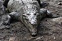 Crocodylus acutus 04.jpg