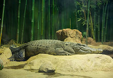 Crocodylus siamensis in moscow zoo 01.jpg