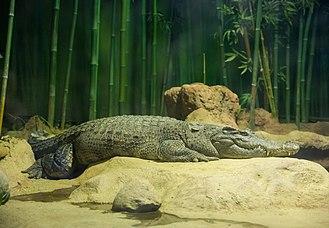Siamese crocodile - Siamese crocodile at Moscow Zoo