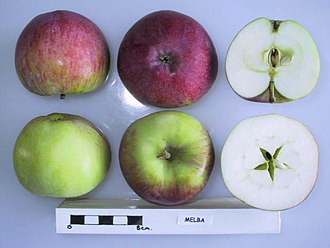 Melba (apple) - Image: Cross section of Melba, National Fruit Collection (acc. 1925 021)