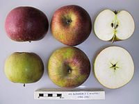 Cross section of Red Blenheim (Wastie), National Fruit Collection (acc. 1966-030).jpg