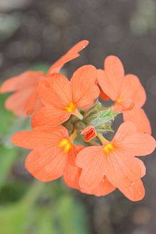 Crossandra infundibuliformis in Andhrapradesh on 14-Jan-2015.JPG
