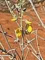 Crotalaria eremaea.jpg