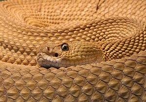 Viperidae - Mexican west coast rattlesnake (Crotalus basiliscus)