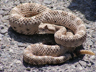 <i>Crotalus cerastes</i> species of reptile