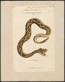 Crotalus horridus - 1700-1880 - Print - Iconographia Zoologica - Special Collections University of Amsterdam - UBA01 IZ11700011.tif