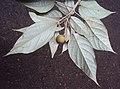 Croton malabaricus 30.jpg
