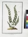 Cruciata floribus paniculatim nascentibus - Reginella (NYPL b14444147-1125010).tiff