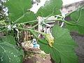 Cucurbita moschata (zapallo espontáneo) flor fruto F06 dia02 vista lateral orientación.JPG