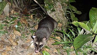 Opossum - A gray and black four-eyed opossum