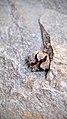 Cupressus glabra cone on granite.jpg