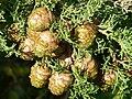 Cupressus sempervirens.JPG