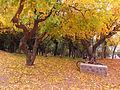 Curico, arboles Otoño 5 (14045406096).jpg