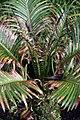 Cycas revoluta Neocaledonica 1zz.jpg