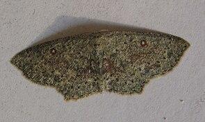 Grauer Gürtelpuppenspanner (Cyclophora pendularia)