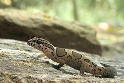 Cyrtodactylus collegalensis.jpg