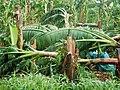 Dégats Ouragan Maria (agriculture).jpg