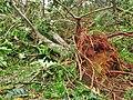 Dégats Ouragan maria (Arbres tombé)jpg.jpg