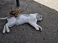 DSC3402 Курча і кіт.jpg