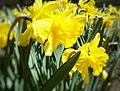 Daffodils at Osgoode Hall (26618168711).jpg