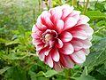 Dahlia blanc rose.jpg