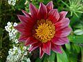 Dahlia clarkson flower.jpg