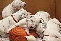 Dalmatian puppy, three weeks-3.JPG