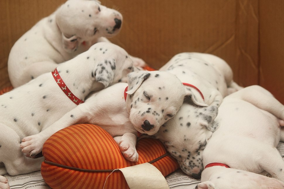 Dalmatian puppy, three weeks-3