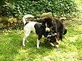 Dansk-Svensk Gaardshund et Bernese Mountain Dog (2).jpg