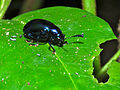 Dark Blue Leaf Beetle (Chrysomelidae) (17748736060).jpg