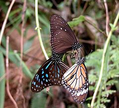 Dark Blue Tiger (Tirumala septentrionis), Striped Blue Crow (Euploea mulciber), and Common Tiger (Danaus genutia).jpg