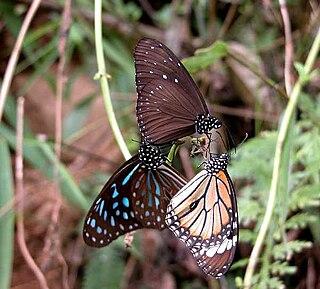Danainae subfamily of insects