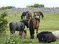 Dartmoor ponies sheltering from the wind. - geograph.org.uk - 924314.jpg