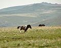 Dartmoor pony foal 1.jpg