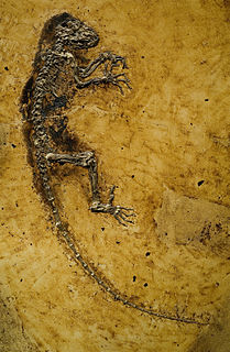 <i>Darwinius</i> genus of mammals