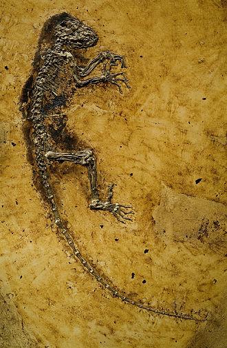 Darwinius - Main slab of the Darwinius masillae holotype fossil (specimen PMO 214.214)