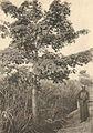 Das südliche Togo (Busse) - Tafel 11 - Elefantegras-Savanne.jpg