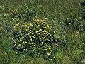 Dasiphora fruticosa 2.jpg