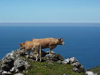 Rubia Gallega Spanish breed of cattle