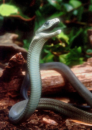 Black mamba - A black mamba in defensive posture
